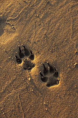Pfotenabdruck eines Hundes - p248m966655 von BY
