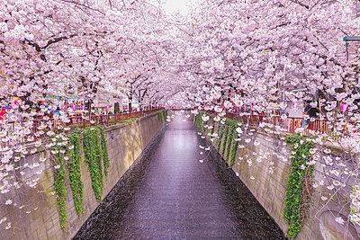 Cherry blossoms at Meguro river, Tokyo, Japan - p307m1174656 by Yohei Osada