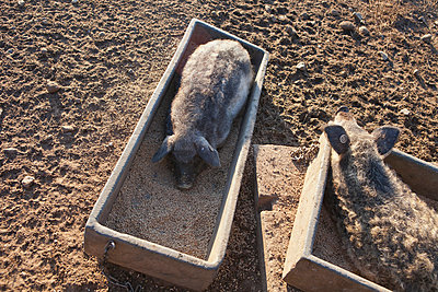 Sleeping and eating pig - p781m970805 by Angela Franke