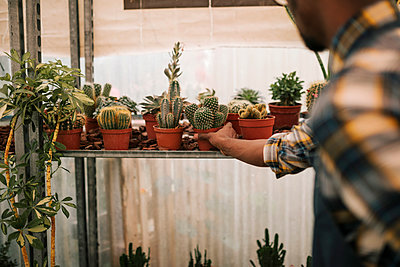 Young farmer picking up cactus plant from rack in nursery - p300m2240621 by LUPE RODRIGUEZ