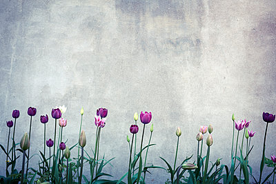 Tulips against concrete wall - p312m1187705 by Dan Lepp