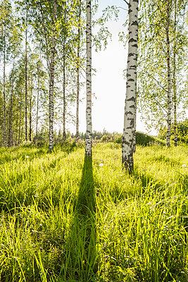Birkenwald - p362m1541448 von André Wagner
