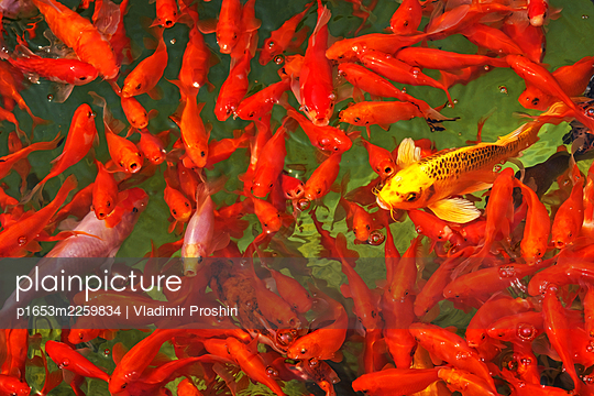 Single yellow fish in a shoal of red goldfish - p1653m2259834 by Vladimir Proshin