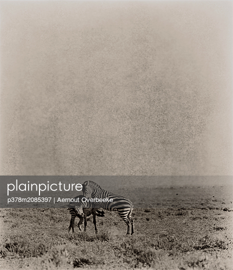 the Fight,Serengeti,Tanzania - p378m2085397 by Aernout Overbeeke