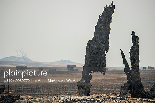 Agricultural landscape scorched by bushfires in the Corryong area, with cattle, Australia, January 2020 - p840m2269770 by Jo-Anne McArthur / We Animals