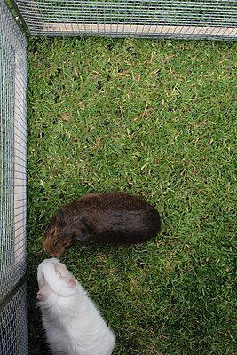 Guinea pigs in a cage - p7030058 by Anna Stumpf