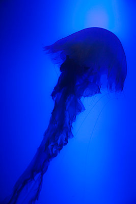 Jellyfish - p880m912182 by Claudia Below