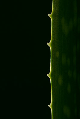 Aloe vera plant with spikes against black background - p919m2193284 by Beowulf Sheehan