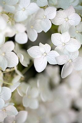Hydrangea petals - p1248m1462103 by miguel sobreira
