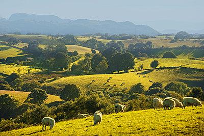Schafe grasen auf einer Weide - p1390m1466943 von Svetlana Sewell