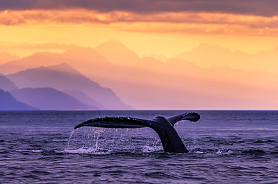 Humpback Whale (Megaptera novaeangliae) at sunset, Lynn Canal, Chilkat Mountains, Inside Passage, near Juneau; Alaska, United States of America - p442m1442250 by John Hyde