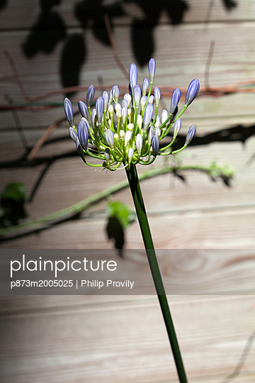 Agapanthus - p873m2005025 by Philip Provily