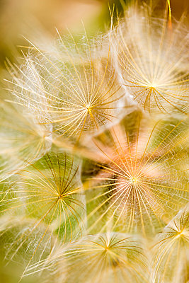 Extreme close-up of a dandelion seed head; Naramata, British Columbia, Canada - p442m1580359 by Lorna Rande