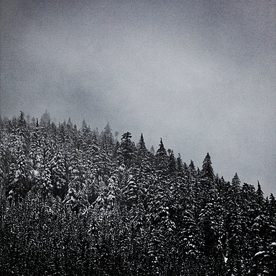 Evergreen Trees Covered in Snow During Snow Storm - p694m1403843 by David Atkinson