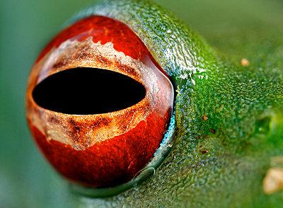 Malagasy Web-footed Frog eye, Antananarivo, Madagascar - p884m1510149 by Paul Bertner