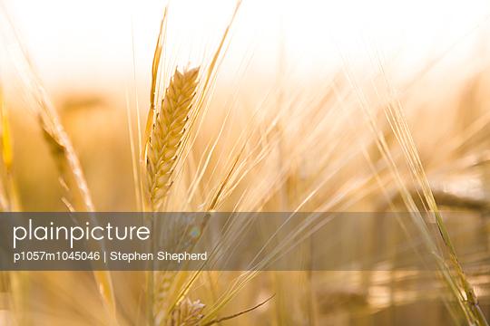 Ähre im Sonnenlicht - p1057m1045046 von Stephen Shepherd
