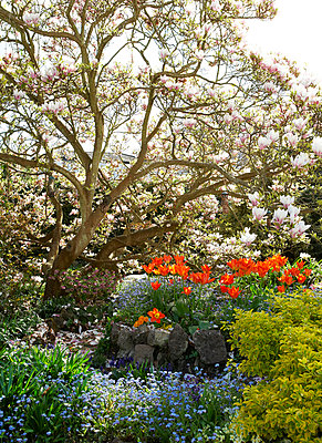 Magnolia tree and tulips in Isle of Wight garden;  UK - p349m920094 by Rachel Whiting