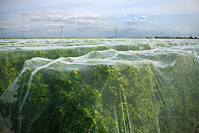 Agriculture - Tangerine orchard covered with bee netting to prevent pollination, thus producing seedless fruit / near Dinuba, California, USA. - p442m1006220 by Steve Goossen