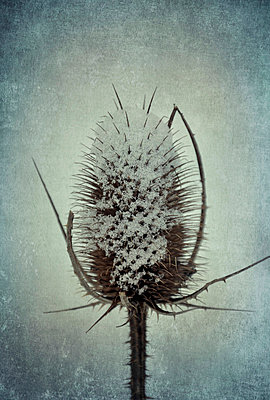 Thistle - p5770503 by Mihaela Ninic