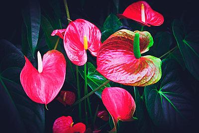 Flamingoblumen - p1149m1574275 von Yvonne Röder