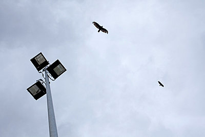 Two eagles in flight - p5960063 by Ariane Galateau