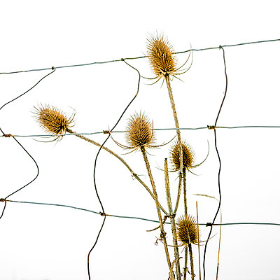 Thistle in a snow - p813m1000139 by B.Jaubert