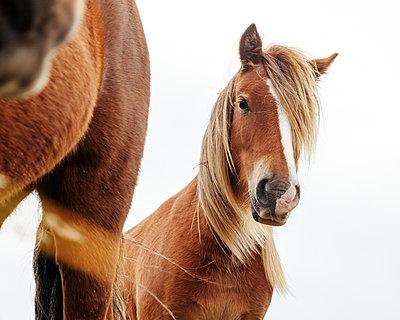 Isländer Pferde  - p1168m1109587 von Thomas Günther