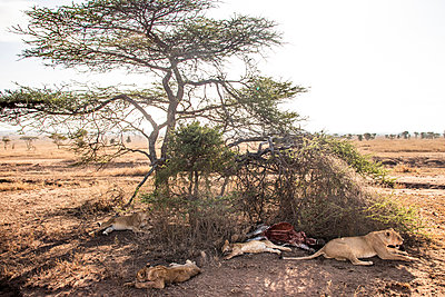 lions hunt - p1691m2288583 by Roberto Berdini Bokeh