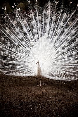 Weißer Pfau mit Federkrone - p248m1020122 von BY