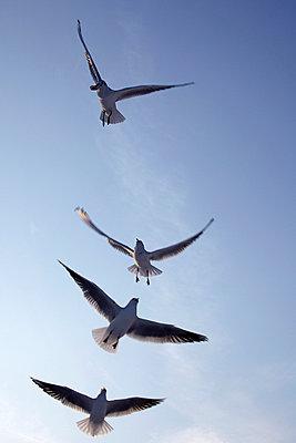 Möwen schweben in der Luft - p4150401 von Tanja Luther