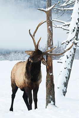 CAPTIVE: Bull elk rubs its antlers on a tree in winter, Alaska Wildlife Conservation Center, Southcentral Alaska - p442m1179926 by Doug Lindstrand