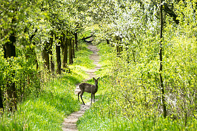 Doe standing on forest road - p739m1333128 by Baertels