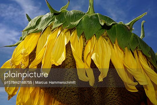 Welkende Sonnenblume - p1578m2168755 von Marcus Hammerschmitt