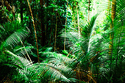Fern plants in Australian rainforest - p416m1060518 by Jörg Dickmann