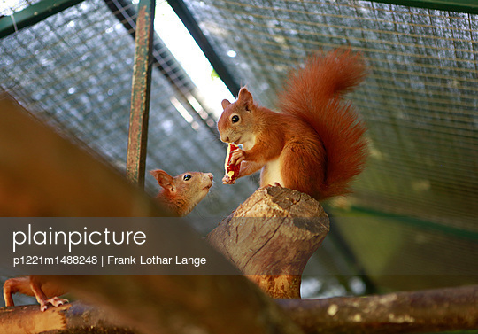 Two squirrels - p1221m1488248 by Frank Lothar Lange