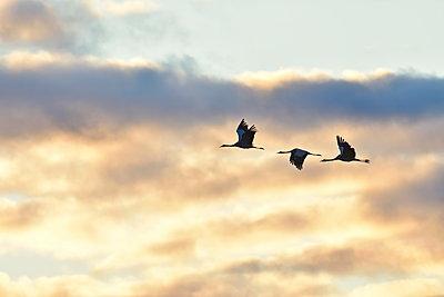 Drei Kraniche fliegen vor Wolken erleuchtet von der Abendsonne - p235m2021746 von KuS