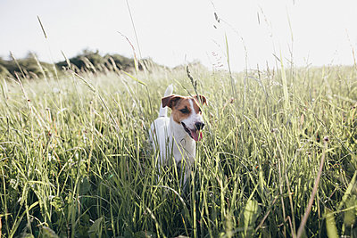 Jack Russel Terrier on a meadow - p300m2005540 by Katharina Mikhrin