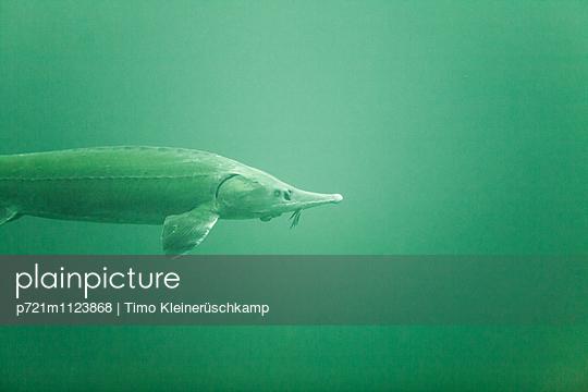 Stör Seitenansicht Unterwasser - p721m1123868 von Timo Kleinerüschkamp