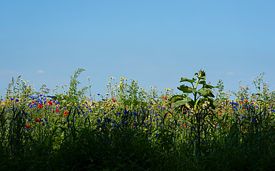 Field with wild flowers - p1132m2128073 by Mischa Keijser