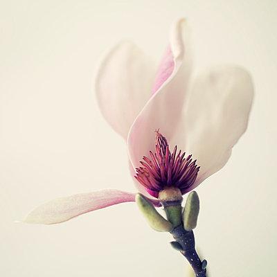 Magnolia Blossom I - p495m793568 by Jeanene Scott
