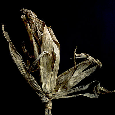 Withered maize - p8130466 by B.Jaubert