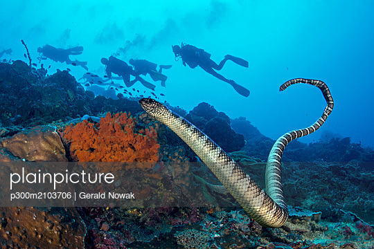 Black-banded sea krait with a group of divers in the background - p300m2103706 by Gerald Nowak