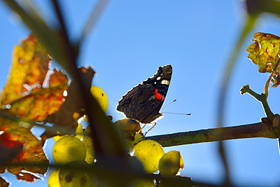 red admiral and grapes - p876m2073385 by ganguin