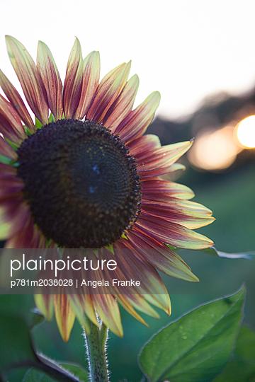 Sonnenblume - p781m2038028 von Angela Franke