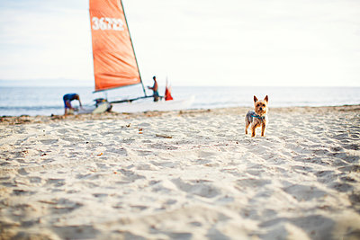 Portrait of Yorkshire Terrier standing at beach with family in background - p1166m1186564 by Cavan Images