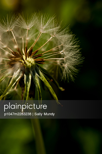 Close-up of dandelion clock blown by the wind on wild dandelion plant - p1047m2283238 by Sally Mundy
