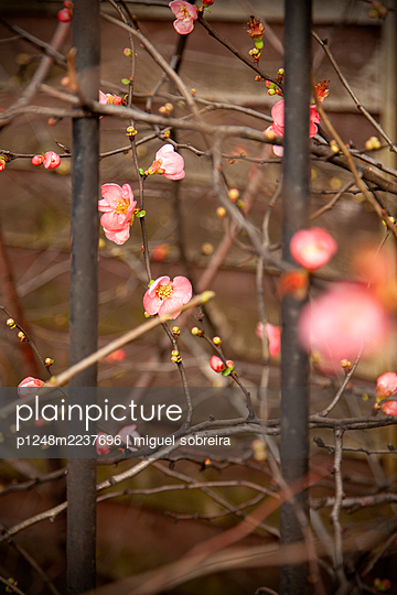 Pink flowers and metal bars - p1248m2237696 by miguel sobreira