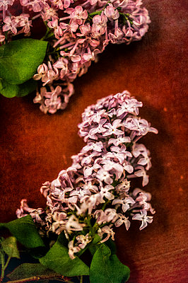Two lilac flowers on a red background - p1047m1137554 by Sally Mundy