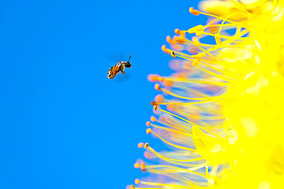 Bee Flying to Foxtail Lily Flower - p5149448f by pasmal