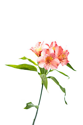 Alstroemeria flower against white background - p919m2195672 by Beowulf Sheehan